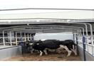 Vinamilk nhập giống bò thuần chủng A2 từ New Zealand về Việt Nam